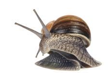 Free Moving Snail Stock Photography - 15490932