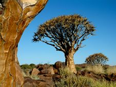 Free Quiver Tree Forest Stock Images - 15491294