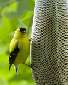Free American Goldfinch (Carduelis Tristis) Royalty Free Stock Image - 15493396