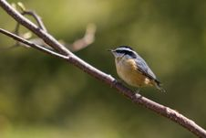 Free A Red-breasted Nuthatch Royalty Free Stock Photo - 15493915