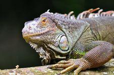 Free Rhinoceros Iguana Stock Images - 15494064