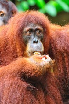 Free Orang Utan Eating Stock Photo - 15494100