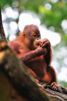 Free Baby Orang Utan Eating Royalty Free Stock Image - 15494116