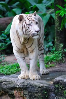 Free Endangered White Tiger Royalty Free Stock Photography - 15494217