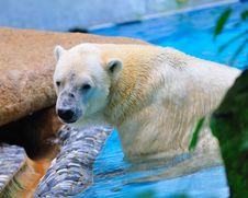 Free Polar Bear In Water Royalty Free Stock Photo - 15494235