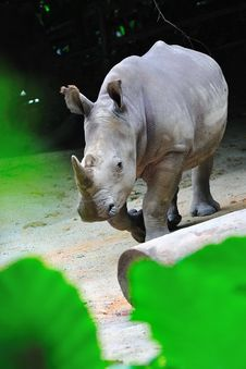 Free Charging White Rhinoceros Stock Image - 15494251