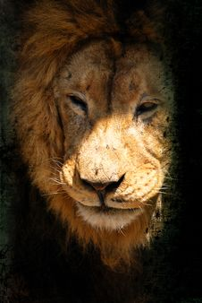 Free Lion King Of The Jungle Stock Photography - 15494802