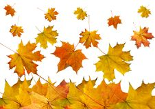 Free Autumn Maple Slips Stock Photo - 15495150