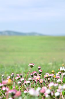 Free Meadow With Daisies Royalty Free Stock Photos - 15495178