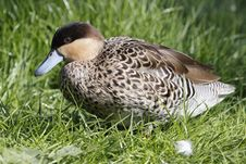 Free Hottentot Teal Royalty Free Stock Images - 15495469