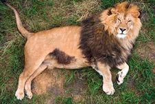 Free Lion Stock Photos - 15496483