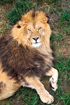 Free Lion Stock Photography - 15497672