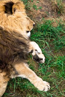 Free Lion Stock Photography - 15497702