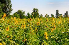 Free Sunflowers Field Stock Image - 15497721