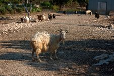 Free Goat And Sheeps Stock Photo - 15498540