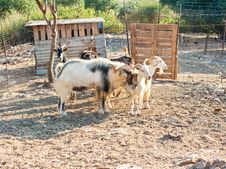 Goat And Sheeps Royalty Free Stock Image