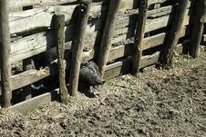 Free PIG Stock Image - 15498571