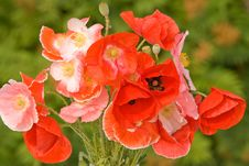 Free Bouquet Of Red Poppies Royalty Free Stock Image - 15498656