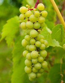 Free Grapes For Wine Stock Image - 15498711