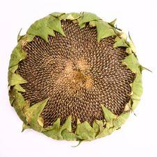 Free Sunflower Stock Photos - 15499123