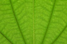 Free Transparent Green Color Leaf Royalty Free Stock Photos - 15499888