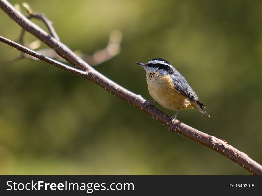 A Red-breasted Nuthatch