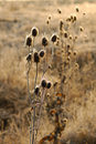Free First Frost Thistle Stock Photo - 1551930