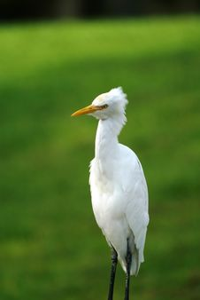 Free Great White Egret In Field Stock Photography - 1550042