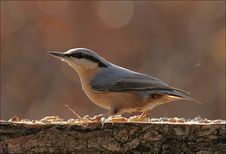 Free A Nuthatch Is Sitting At The Feeder Royalty Free Stock Image - 1550216