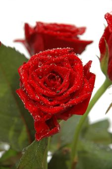 Free Water Drops And Roses Stock Photos - 1550293