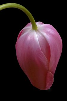 Free Leaning Tulip Royalty Free Stock Photography - 1550887