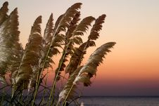 Free Wheat On Beach Stock Photo - 1551080