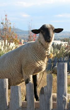 Free Sheep And Fence Stock Photography - 1551362