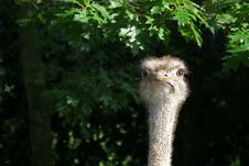Free Ostrich Stock Photography - 1552312