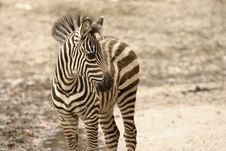 Free Young Zebra Royalty Free Stock Photography - 1552697
