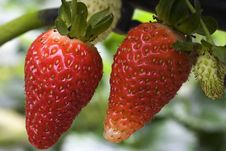 Free Strawberries Royalty Free Stock Image - 1555686
