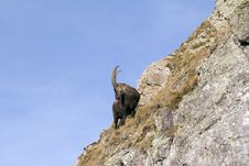 An Ibex Is Looking Around Stock Photography