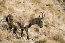 A Small Ibex Walking Around Stock Photography