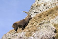 Free A Male Ibex In Profile Stock Photos - 1556963