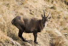 The Ibex Is Looking At Me Stock Images
