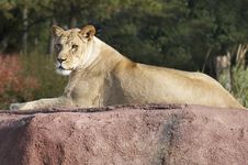 Free Lioness Royalty Free Stock Images - 1557899