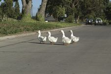 Free Geese Crossing A Street Royalty Free Stock Image - 1557976