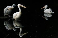 Three Pelicans In Pond Royalty Free Stock Image