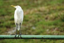 Free Great Egret On Railings Stock Photo - 1558490
