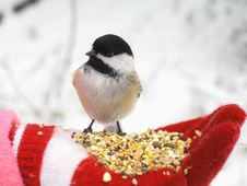 Free Black Capped Chickadee Feeding Stock Photos - 1559283