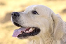 Free Golden Retriever Stock Photo - 1559670