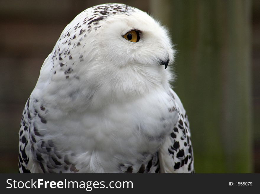 snowy owl free stock images photos 1555079 stockfreeimages com