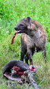 Free Hyena Kill Stock Image - 15503641