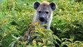 Free Hyena In The Bushes Stock Photos - 15503653