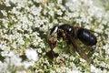 Free Ambush Bug Royalty Free Stock Images - 15506049
